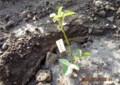 賢治が愛したバラを移植。(27.5.2)