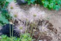 長い毛を、風になびかせる「オキナグサ(翁草)」。(27.5.11)