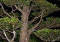 イチイの枝間に、小さく細い、「お月さま」が…。