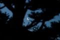 イチイの枝間に、細いお月さまが…。(27.5.15)(4:11)
