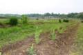 「景観保全作物」、ポット苗を移植。(27.5.16)