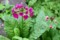井戸端に咲く、「クリンソウ(九輪草)」の花。(27.5.16)