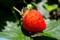 「夏姫」イチゴの実。(27.5.17)