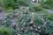 賢治ガーデン入り口、「グランドカバー・イチゴの仲間」。(27.5.17)