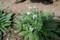 咲き始めた、「シノグロッサム」。(27.5.18)