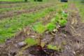 ルバーブ、セロリ、レタス、アシタバも植えて…。