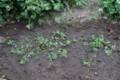 グランドカバーを期待して、「米粒詰草」を移植。(27.5.18)