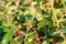 「ミヤマウグイスカグラ」の実は、懐かしい「なわしろぐみ」の味。