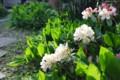 ピンクからクリーム色へと、花色が変わる「シャクナゲ・パーシーワイ