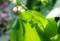 葉に、花の影を映す「ドイツスズラン」。(27.5.23)