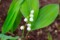 在来種・「日本スズラン(鈴蘭)」。(27.5.23)
