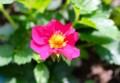鮮やかな「トスカーナ・イチゴ」の花。(27.5.24)