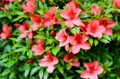 早くも咲き始めた「サツキ(皐月)」の花。(27.5.25)