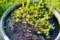 水鉢に、「ヒメスイレン(姫睡蓮)」。(27.5.26)