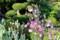 花が終わり、結実を始めた「オダマキ(苧環)」。(27.5.26)