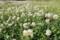 「白詰草」の野原。(27.5.26)