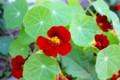 濃い臙脂色の花、「ナスタチウム」。(27.5.27)