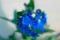 「シノグロッサム・インディゴブルー」の花。(27.5.27)