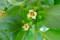 咲き始めた「カキ(柿)」の花。(27.5.28)