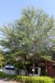 図書館玄関脇に立つ、「賢治ゆかりのギンドロ」の大木。(27.5.27)