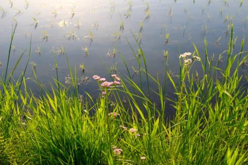 土手に咲く、ピンクの可愛い「ハルジオン」(