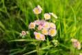 ピンクの花が可愛い「ハルジオン」の花。(27.5.27)