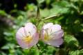 日光が、うすい花弁を透過して…。(27.5.30)