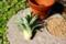 「パイナップルの頭」、挿芽に挑戦…。(27.6.1)