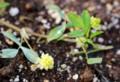 「コメツブツメクサ(米粒詰草)」の花。(27.6.1)