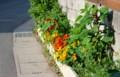 夏の暑さに負けない、原色の「ナスタチウム」の花。(27.6.2)