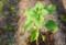 ヒマワリ(向日葵)。(27.6.2)