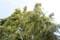 「シナノキ(科の木」の花。(27.6.11)
