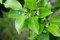 榊とされる、「ソヨゴ」の花。(27.6.11)