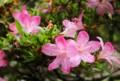 梅雨空に明るく咲く「サツキ(皐月)」の花。(27.6.12)