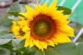 ヒマワリ(向日葵)、花の幾何学模様。(
