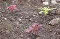 「ハゲイトウ(葉鶏頭)」苗の植え付け。(27.6.21)