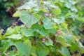 播種ご一ヶ月、咲き始めた「アカバナソバ(赤花蕎麦)」の花。(27.6.21)