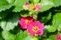 夏の日に輝く、「トスカーナ・イチゴ」の赤い花。(27.6.22)