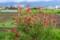 上まで咲き進んできた「タチアオイ(立葵)」の花。(旧中仙道)(27.7.18