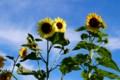 真夏の太陽が、「ヒマワリ(向日葵)」を照らす。(27.7.19)