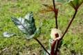 「赤オクラ」の開花。(27.7.20)