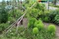 支柱ごと倒れた「クヌギ(櫟)」の木。(27.7.22)