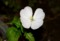 昨夜・開花時の「月見草」の花。(27.7.23)(19:37)