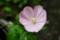 ピンク色に変わった「月見草」の花。(27.7.23)(6:19)