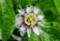 「クダモノトケイソウ(果物時計草)・パッションフルーツ」の花。827