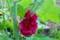 八重咲きの「立葵」、アマガエルが一休み(27.7.23)