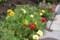 見頃の「松葉牡丹」の花。(27.7.24)