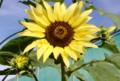 花色が純黄色(レモンイエロー)の向日葵。(27.7.25)