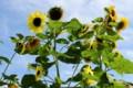 4メートルの高さで咲く「向日葵」の花。(27.7.25)