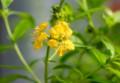 「キバナミソハギ(黄花禊萩)」の花。(27.7.25)